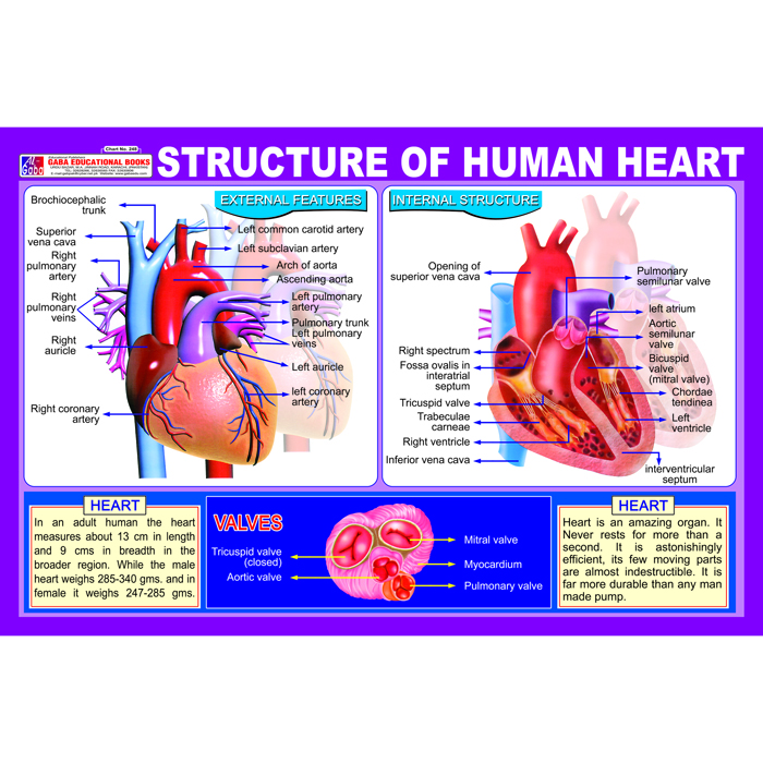 structure of human heart